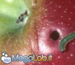 Apple_bug.jpg